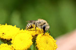 Seidenbiene, weibl., Colletes sp.