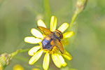 Goldschild-Wanzenfliege, männl., Phasia aurigera
