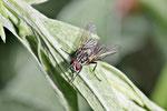 Blumenfliege, Anthomyiidae sp.