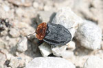 Rothalsige Silphe, Oiceoptoma thoracica