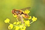 Teichrand-Schwebfliege, Parhelophilus sp.