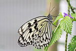Weiße Baumnymphe, Idea leuconoe