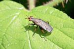 Melierte Schneckenfliege, Coremacera marginata