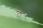 Stelzenfliege, Micropezidae sp.