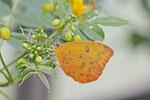 Orangegetüpfelter Gelbling, Phoebis philea