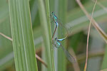 Große Pechlibelle, Paarungsrad, Ischnura elegans