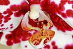 Orchideen - Blüte