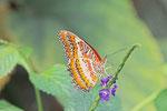 Bortenfalter, Cethosia biblis