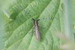 Scheckhorn-Distelbock, Agapanthia villosoviridescens