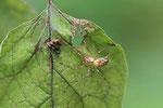 Herbstspinne, Metellina segmentata/mengei