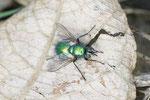 Blaugrüne Raupenfliege, weibl., Gymnochaeta viridis