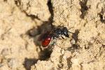 Große Blutbiene, Sphecodes albilabris