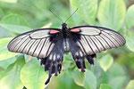 Großer Mormon, Papilio memnon