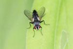 Raupenfliege, Tachinidae sp.