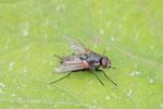 Echte Fliege, Thricops nigrifrons