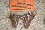 Atlasspinner, Attacus atlas