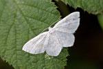 Ungepunkteter Zierspanner, Asthena albulata