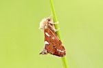Heidekraut-Wurzelbohrer, Phymatopus hecta