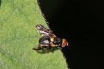 Kirschfruchtfliege, Rhagoletis cerasi