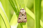 Gem. Graseule, Agrotis exclamationis