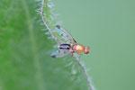 Saftfliege, Geomyza cf. martineki