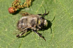 Pelzbiene, Anthophora sp.