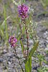 Blutweiderich, Lythrum salicaria