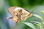 Schein-Schwalbenschwanz, Papilio dardanus