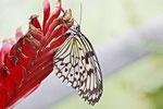 Weisse Baumnymphe, Idea leuconoe