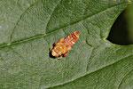 Orientzikade, Orientus ishidae