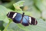 Kleiner blauer Grieche, Heliconius sara