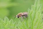 Seidenbiene, männl., Colletes sp.