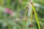 Westliche Weidenjungfer, männl., Chalcolestes viridis