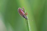 Zweifarbiger Schmalbauchrüssler, Phyllobius oblongus