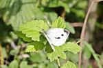 Kleiner Kohlweißling, weibl., Pieris rapae