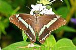 Blaugestreifter Schwalbenschwanz, Papilio nireus, Afrika