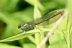 Gebänderte Prachtlibelle, weibl., Calopteryx splendens