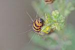 Raupe vom Jakobskrautbär, Tyria jacobaeae