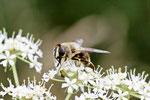 Mistbiene, weibl., Eristalis tenax