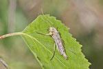 Zuckmücke, weibl., Chironomidae sp.