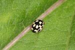 Vierzehnpunktiger Marienkäfer, Propylea quatuordecimpunctat