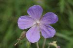 Wiesen-Storchschnabel, Geranium pratense