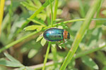 Hallescher Blattkäfer, Sermylassa halensis