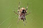 Schilfrad-Spinne, Lariniodes cf. cornutus