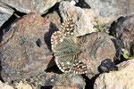 Kleiner Würfel-Dickkopffalter, Pyrgus malvae