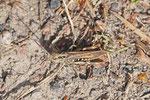 Grashüpfer, Chorthippus biguttulus Gruppe