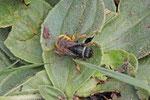 Zweifarbige Schneckenhaus-Mauerbiene, Osmia bicolor