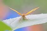 Wandelndes Blatt, Doleschalia bisaltide