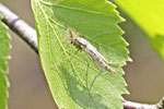 Zuckmücke, männl., Chironomidae sp.