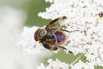 Wanzenfliege, Phasia hemiptera